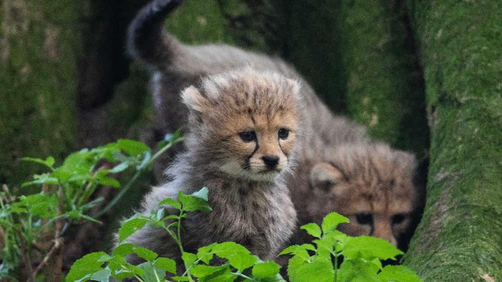 Cheetah Fota Wildlife Park