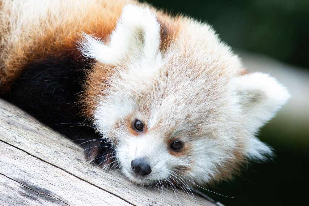 fota wildlife park red panda