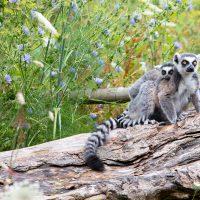 ring tailed lemurs fota
